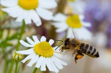 Пчели-минотърсачи