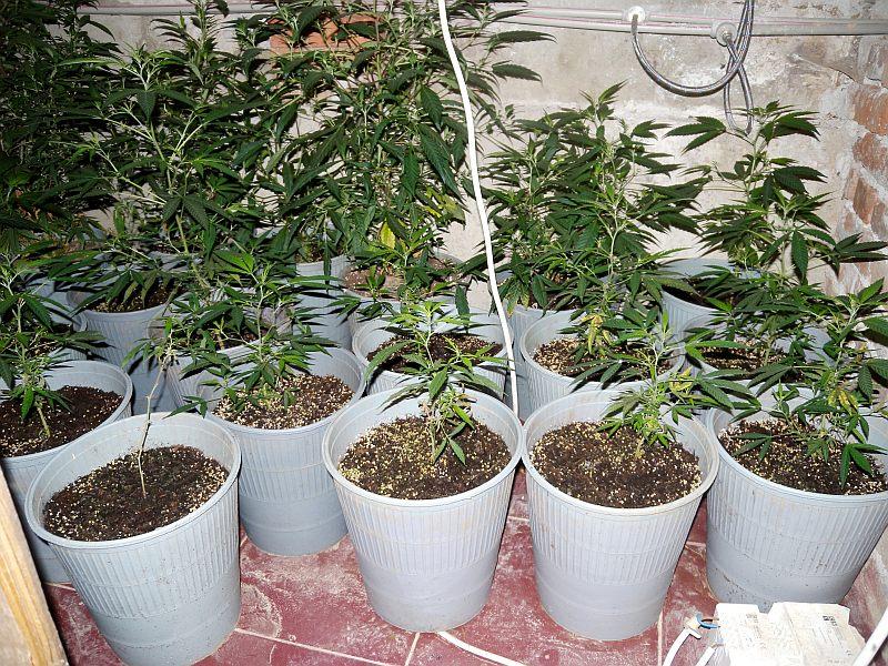 отглежда марихуана в дома си