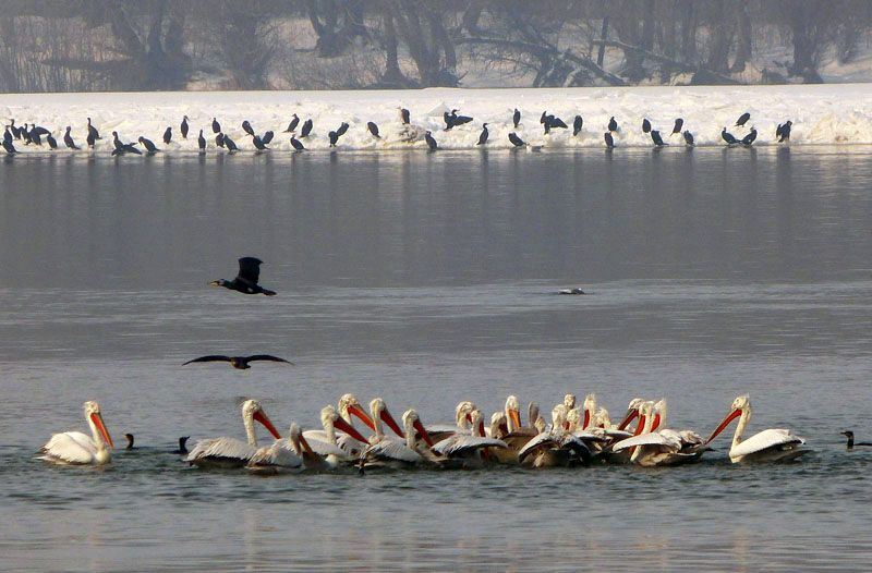 """Първите пеликани - """"разузнавачи"""""""