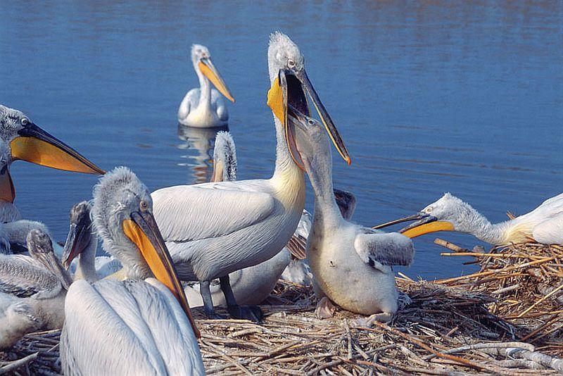 Къдроглавите пеликани