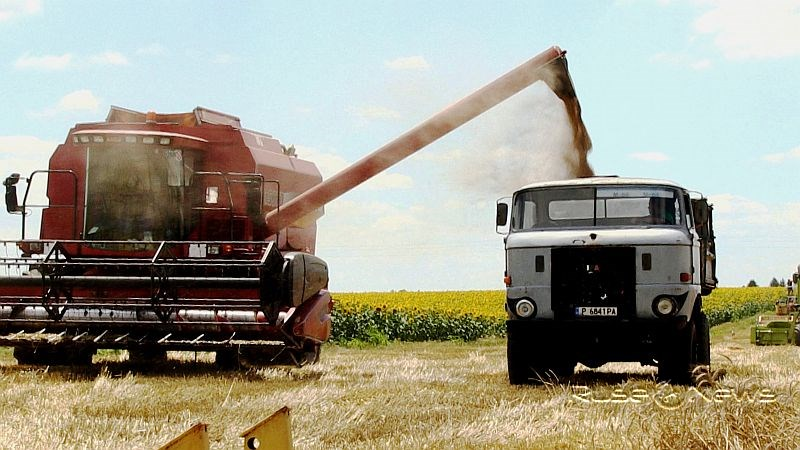 Добра реколта прибират земеделците в Русенско