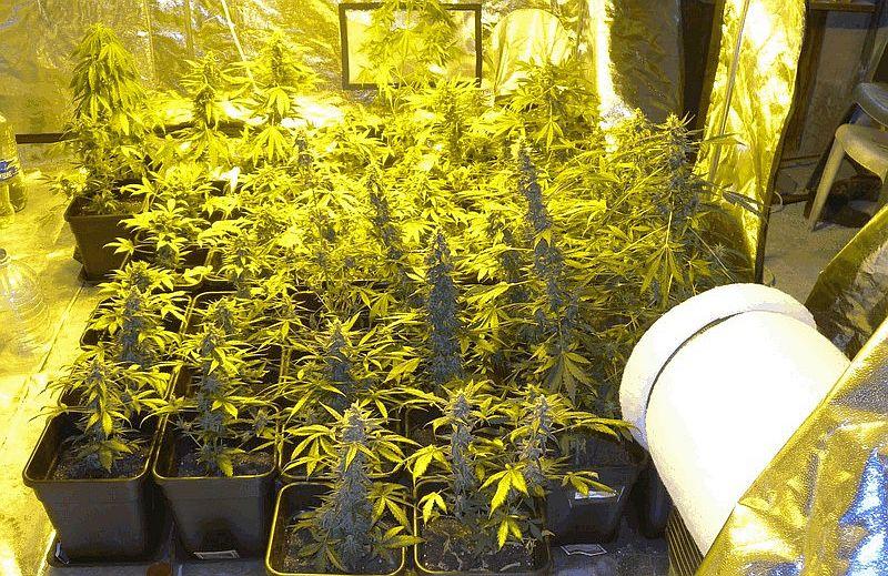 Оранжерия за марихуана