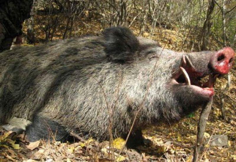 Нови случаи на африканска чума при диви свине