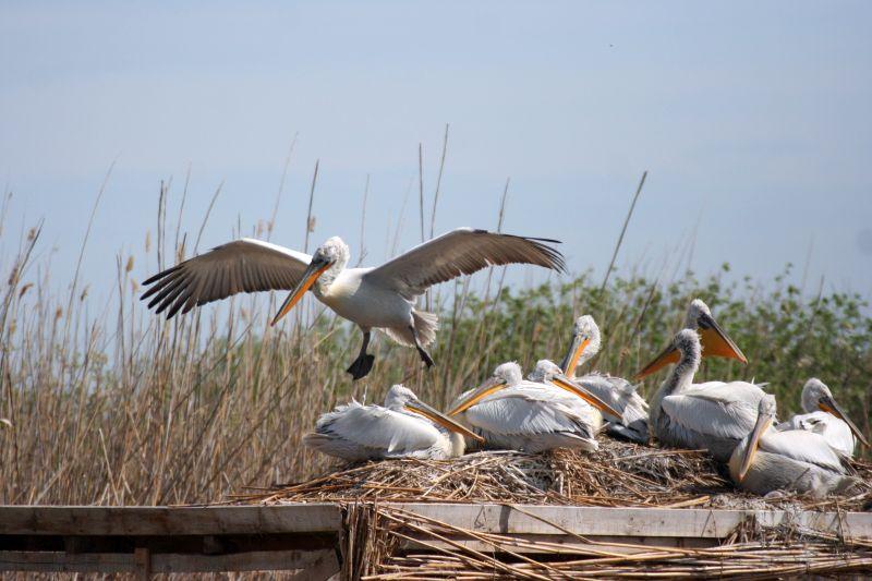 Първите излюпени пеликани