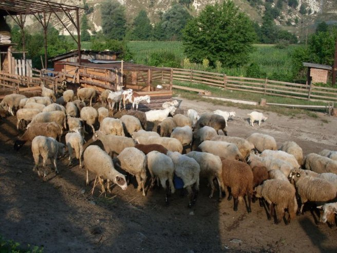 Овцевъди и козевъди