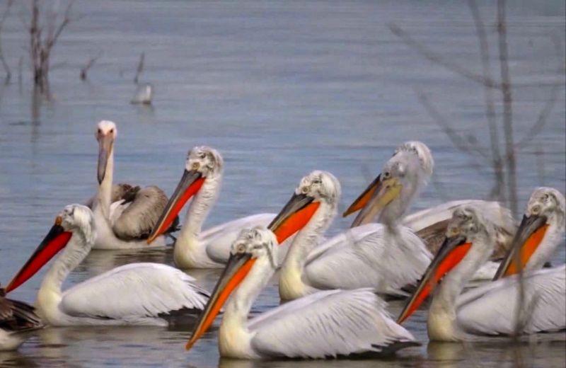 Пеликаните подраниха