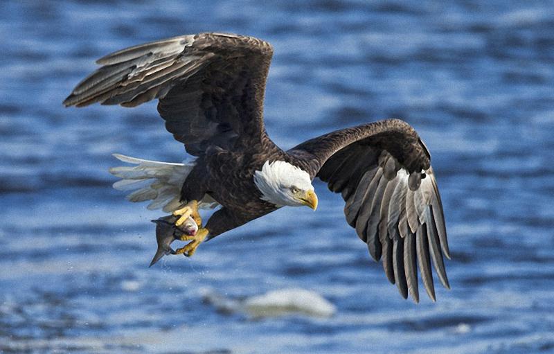 """Морски орли ловуват в резервата """"Сребърна"""""""