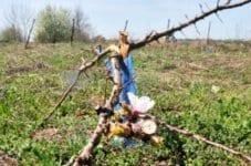 Вандали унищожиха кайсиева градина