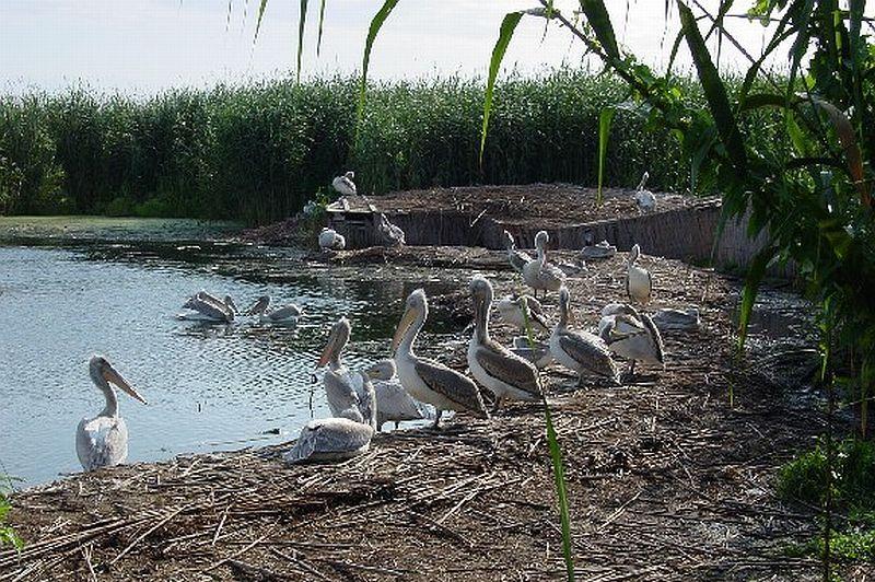 Новоизлюпените пеликани