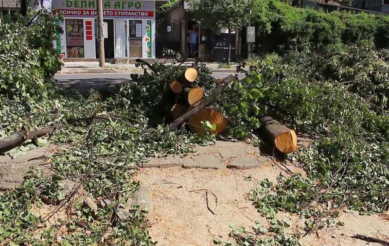 мораториум върху сеченето на липови дървета