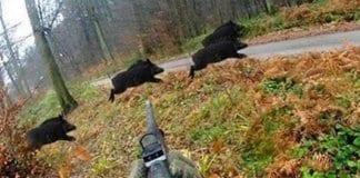 ограниченията за лов на диви свине