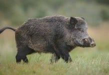 случай на Африканска чума при дива свиня