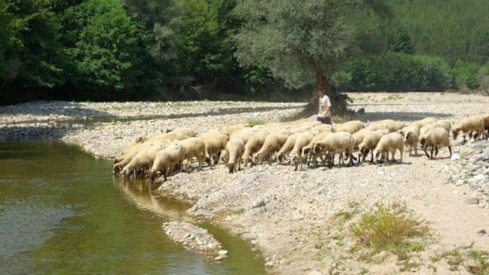 Овчарите