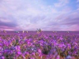 Арабската пустиня разцъфна
