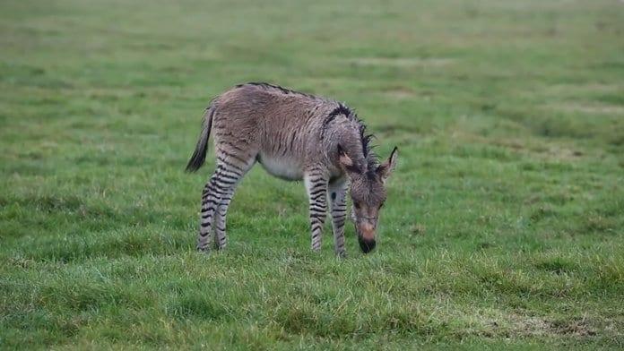 Роди се Зипи – рядка кръстоска между магаре и зебра