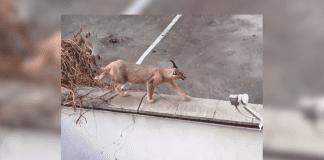 Едра екзотична котка се разходи свободно из Пловдив