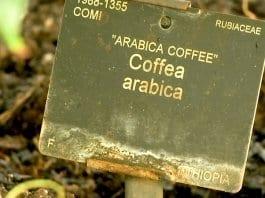 Учените алармират: Кафето може да изчезне