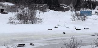 Десетки тюлени бедстват в канадски град