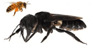Най-голямата пчела в света не е изчезнала