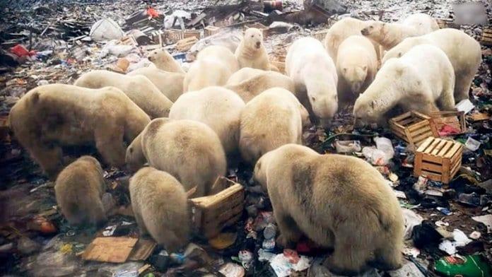 Нашествие на бели мечки в руския архипелаг Нова Земя