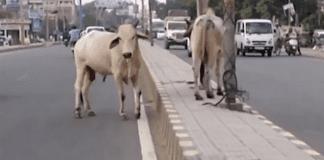 Индия има проблем с кравите