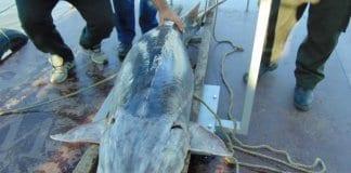 174-килограмова моруна