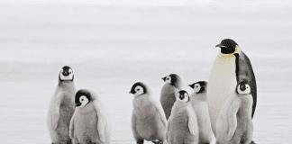 Регистрирана е масова смърт на бебета императорски пингвини
