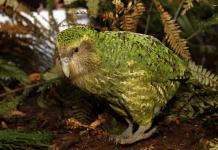 Рядък вид папагали – с рекорден брой новоизлюпени