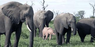 Роди се розов слон в Южна Африка