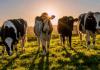 Австрия издаде наръчник за срещи с крави на алпийските пасища