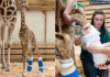 Новородено жирафче ще носи ортопедични обувки