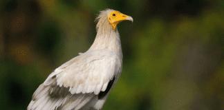 HD камера излъчва на живо от гнездо на египетски лешояди край Провадия