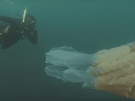 Заснеха медуза с размери на човек