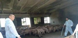 Свинекомплекса в Бръшлен