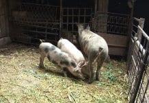Обезщетения за дезинфекция – само за стопаните, отглеждали до 5 прасета