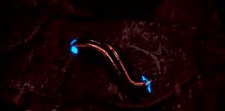 Откриха нов вид насекоми, излъчващи синя светлина